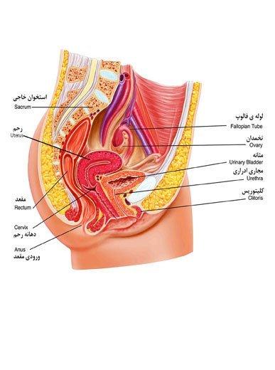 آناتومی دستگاه تناسلی